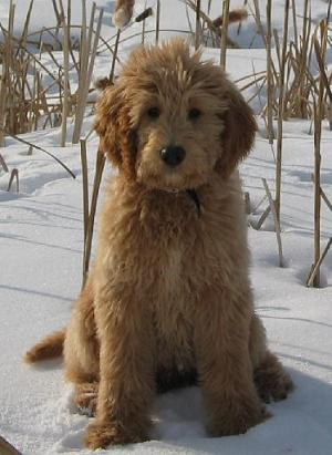 Goldendoodle and Labradoodle Fur Types and Colors ...