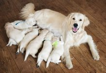 How to find Labradoodle breeder