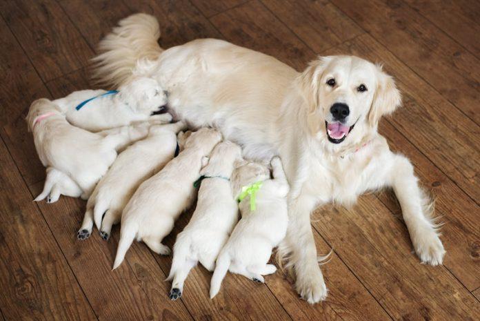 How to find Labradoodle breeder