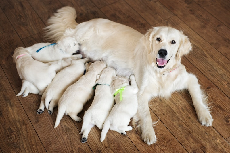 Advice for Finding a Goldendoodle and Labradoodle Breeder or