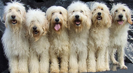 F1b Goldendoodle F1b Labradoodle Comparison Of Different Generation Types Everything Doodle