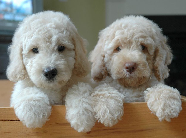 Picture of a labradoodle vs goldendoodle