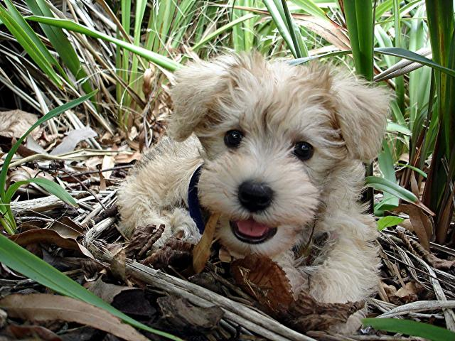 Schnoodle Schnoodles are pretty well known and still unique. They are