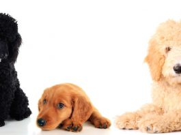 Goldendoodle History and Personality