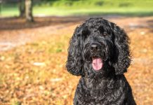 Labradoodle History and PErsonality