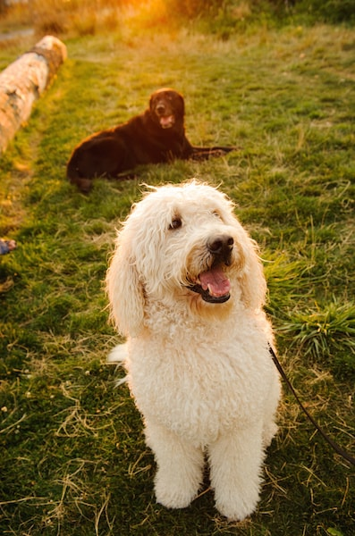 How big are goldendoodles?