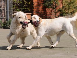 Picture of Labradoodle Next to Labrador