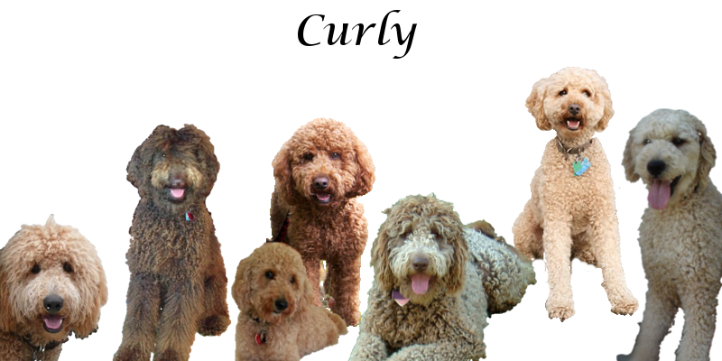 Labradoodle Coat Types Curly Wavy Shaggy And Straight Fur