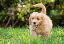 Goldendoodle puppy running in the grass