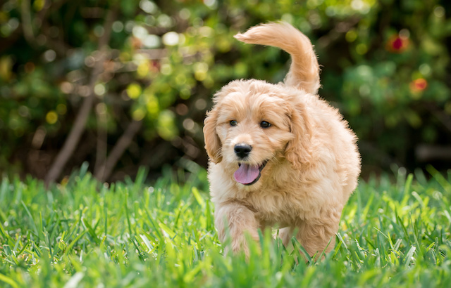 10 Reasons To Own A Goldendoodle Everything Doodle